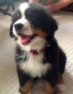 Berner pup