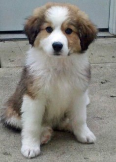 Bernese Mountain Dog and Great Pyrenees  This looks just like Emily when she was a puppy!!! just blonde:)