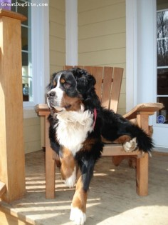 bernese mountain dog. i want one!! Anna sits on couch with one paw touching floor too!