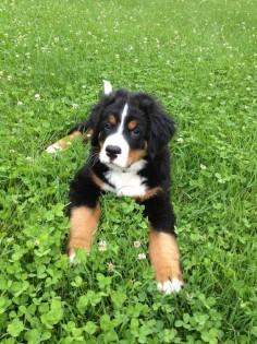 Bernese Mountain Dog puppy. #dogs #animal #bernese #mountain