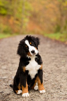 Bernese Mountain Dog Puppy  it will have to happen that I get one!!!!