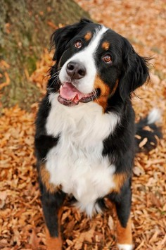 ☀Bernese Mountain Dog ~ Smiling Berner by Kelley Nelson*