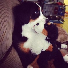 Bernese Mountain Dog with his toy Berner
