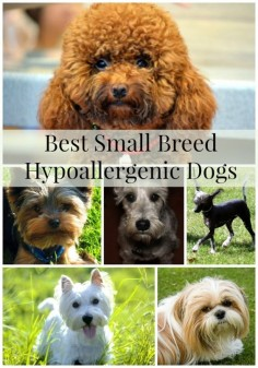 Best small breed hypoallergenic dogs