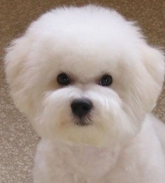 Bichon in a pet cut, body close and head about one inch for easier care (Original pinner wrote: Show-Dog Cut ... soft, rounded, ball of white fluff)