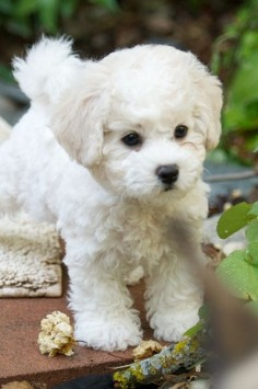 Bichons(: Adorable!