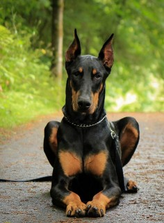 black and tan doberman