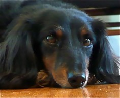 black and tan long haired dachshund | LUCY is a nine pound, black-and-tan, long-haired miniature dachshund ...