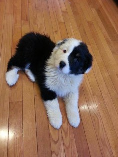Black Bi Australian Shepherd Puppy