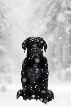 .black lab in the snow