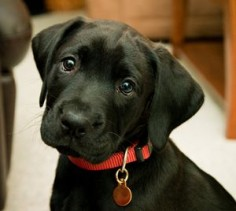 black lab pups