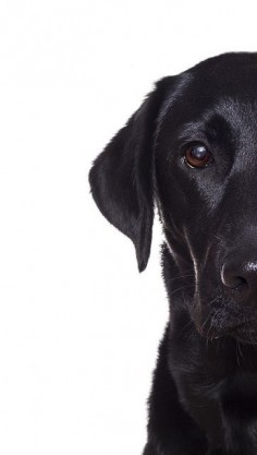 Black Labrador retriever photography puppy dog
