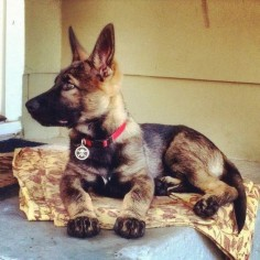 Black sable DDR GSD pup
