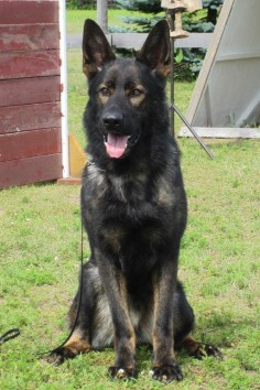 Black Sable East German Shepherd Stud Dog Visko vom Spartanville (Uncle to our pups) posting for my daughters to