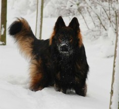 black sable german shepherd - Google Search