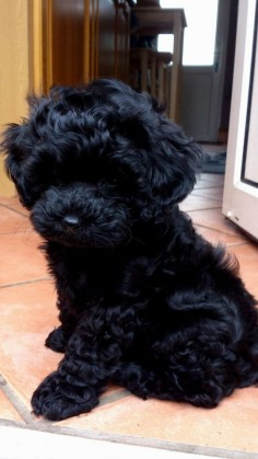 Black Shih Poo Puppies