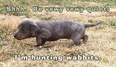 Blue dapple dachshund puppy!