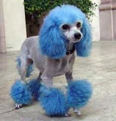 Blue Dye Poodle