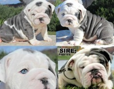 Blue english bulldog puppies