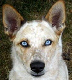 Blue eyed Australian Cattle Dog