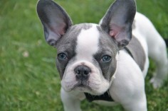 Blue French Bulldog Puppy with Blue Eyes, just gorgeous.