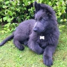 Blue German Shepherd Pup