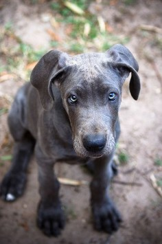 Blue Great Dane. You will be mine someday