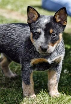 Blue Heeler cutie