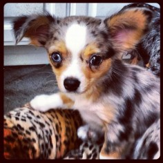 blue merle long-haired chihuahua