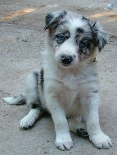 Blue Merle Puppies