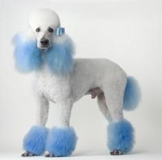 blue poodle