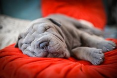 Blue Shar Pei Puppy by Ilnara Tuesheva Photography