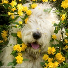 "Bobtails/OES/English Sheepdogs ; ) – romantically cute ; ) ""happy Spring"" at sea (photo by dewollewei/Cees 2014-04-03 via flickr 22858517)"
