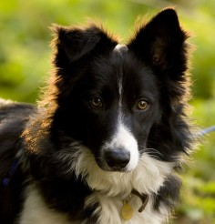 Border Collie beautiful :)