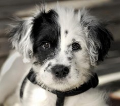 Border Collie Dalmatian mix.