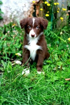 Border Collie - extremely affectionate, active and fun loving dogs. Intelligent and trainable. Considered as most obedient among all dog breeds