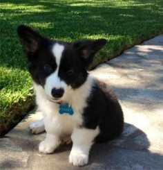 Borgi (Border Collie/Corgi)    Oh gosh! So much cuteness!!