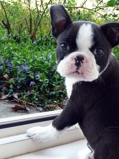 Boston Terrier baby!!! ♥