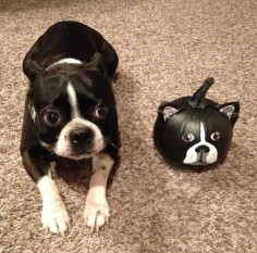 Boston Terrier Painted Pumpkin #Halloween