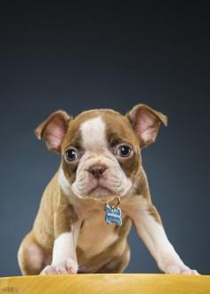 Boston Terrier  Cuteness :) (via 500px / Stella II by Michael Devaney)