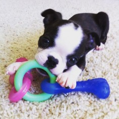 ♥ Boston Terriers