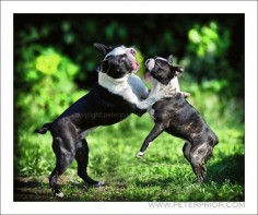 Bostons at Play! Yoda and Miss Higgle from East Sussex, UK (Photo)