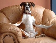 Boxer dog Wilma. This is my chair now. Next time you'll learn not to get up!