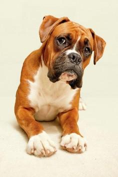 #Boxer #Dog