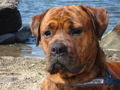 Boxer x Rottweiler mix Boxweiler (Brindle)