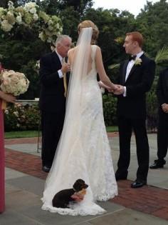 Bridal dachsie
