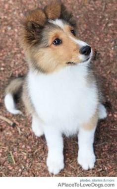 bright alert sheltie#Repin By:Pinterest++ for iPad#