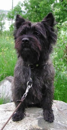 Brindle Cairn Terrier