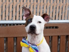 Brooklyn Center APALLO – A1075887 MALE, WHITE / BR BRINDLE, PIT BULL MIX, 3 yrs OWNER SUR – EVALUATE, NO HOLD Reason LLORDPRIVA Intake condition EXAM REQ Intake Date 06/01/2016, From NY 10456, DueOut Date 06/01/2016