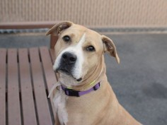 Brooklyn Center EASTERN – A1070188 FEMALE, TAN / WHITE, PIT BULL, 2 yrs STRAY – STRAY WAIT, NO HOLD Reason STRAY Intake condition UNSPECIFIE Intake Date 04/13/2016, From NY 11233, DueOut Date 04/16/2016,